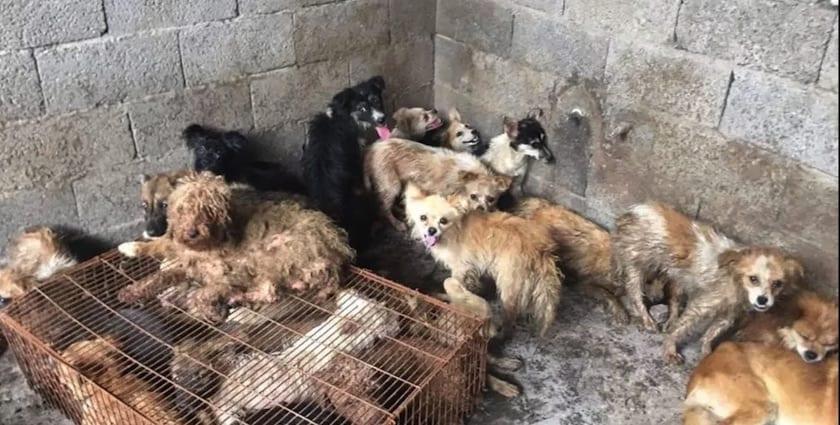 Photo of Activistas salvan a 62 perros que iban a ser cocinados en China