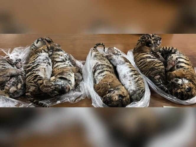 Photo of Siete tigres bebés son encontrados congelados