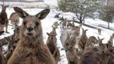 Photo of ¿Canguros australianos en la nieve? Fueron captados brincando tras ciclón polar