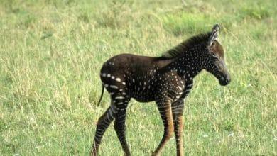 Photo of Cebra nace con puntos en lugar de rayas y se roba la atención en redes