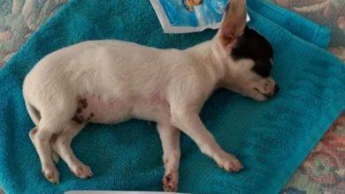 Photo of Por cohetes de fiesta patronal, perrito sufre daño cerebral