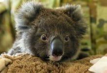 Photo of Lanzan el 'dildo koala' para combatir incendios en Australia