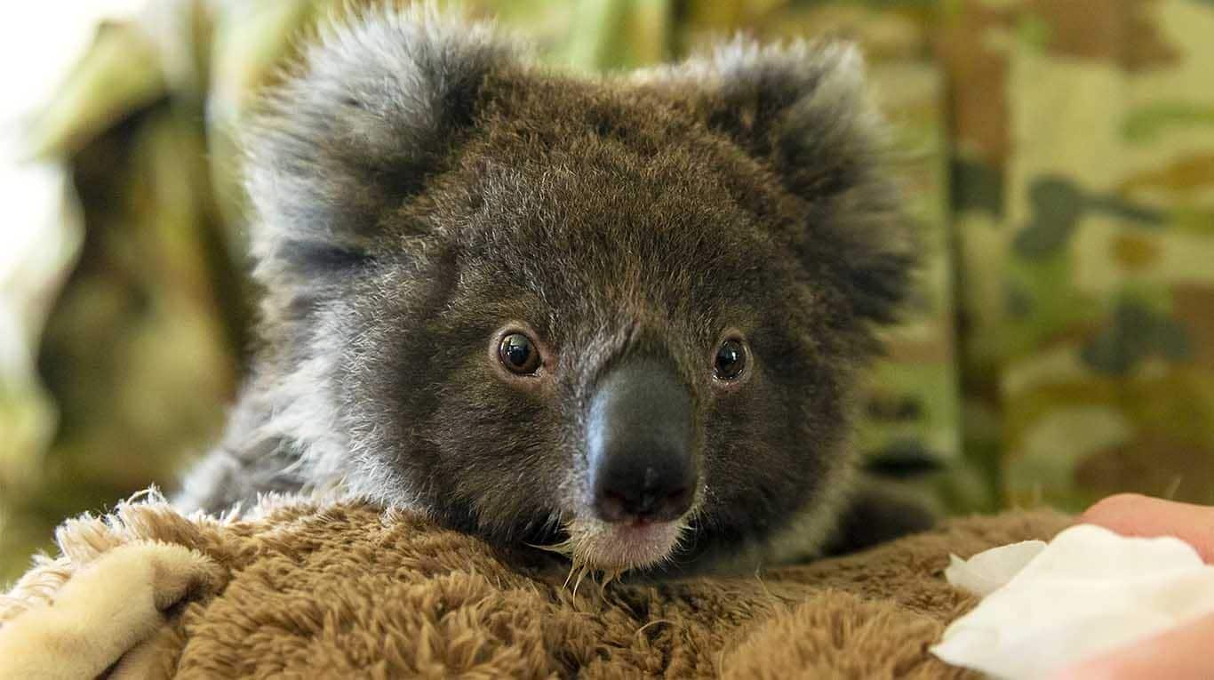Lanzan el 'dildo koala' para combatir incendios en Australia