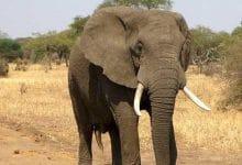 Photo of Revelan causa de muerte de más de 300 elefantes
