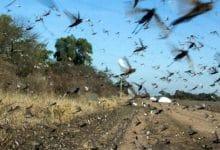 Photo of VIDEO: Ahora una plaga de langostas azota Argentina