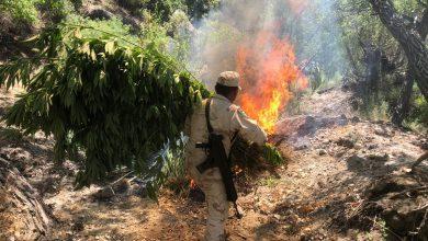 Destruyen-gran-plantío-de-marihuana