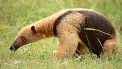 Photo of Hallan muerto y con signos de tortura a oso hormiguero