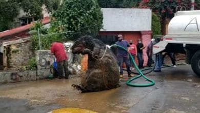 Photo of VIDEO: Hallan 'rata gigante' en drenaje y se viraliza