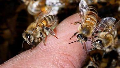 Photo of Fallece abuelito tras ataque de abejas