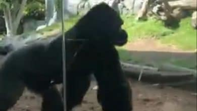 VIDEO-Pelea-de-primates-provoca-cierre-en-parte-de-zoológico