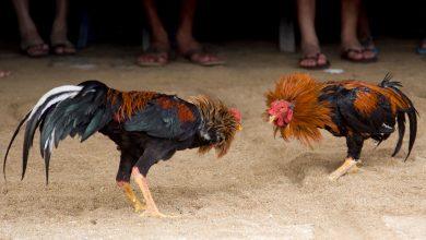 gallo-mata-a-su-dueno-durante-pelea-clandestina