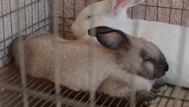 conejos-a-informarse-sobre-enfermedad-hemorragica-viral