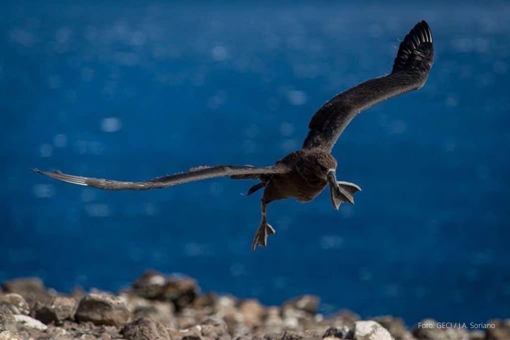 vuela-primer-albatros-patas-negras-del-proyecto-de-repoblamiento-en-bc