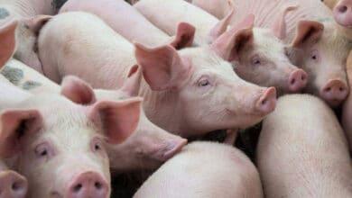 México-refuerza-medidas-de-sanidad-ante-peste-porcina-en-RD