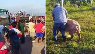 Vuelca-trailer-con-cerdos-y-pobladores-hacen-rapina